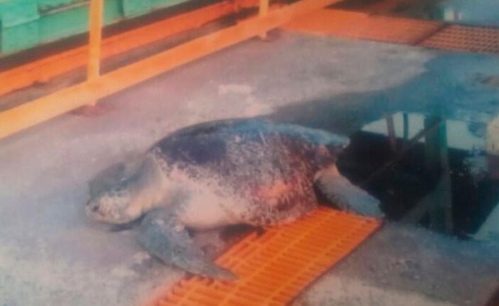 """Detectan """"fosas clandestinas"""" con tortugas"""