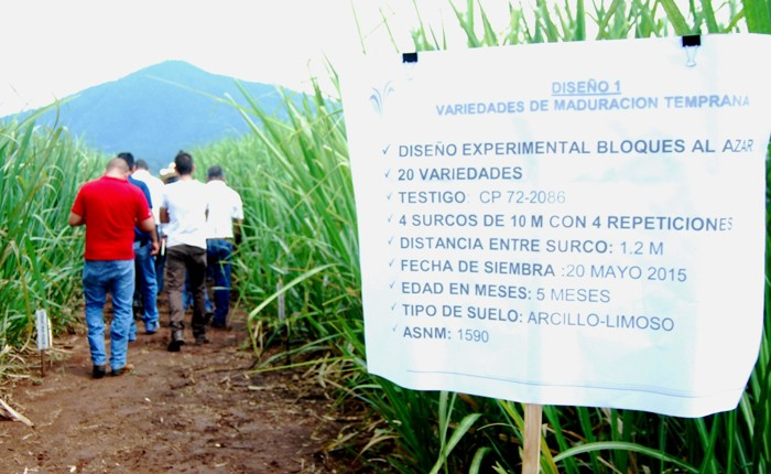 Santa Clara tiene 517 variedades de caña de azúcar
