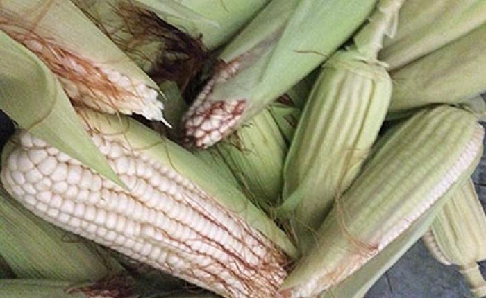 Sorgo y maíz, devastados en el Bajío Michoacano