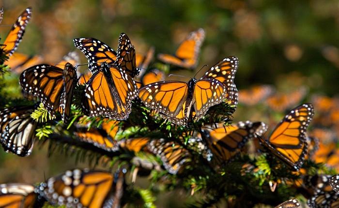 Mariposas Monarca se desvían al oriente