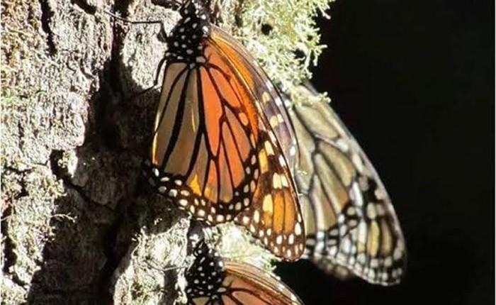 Ya llegaron las primeras mariposas monarcas a El Rosario