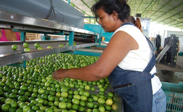 Producirá Úspero más de 43 mil litros de aceite de limón