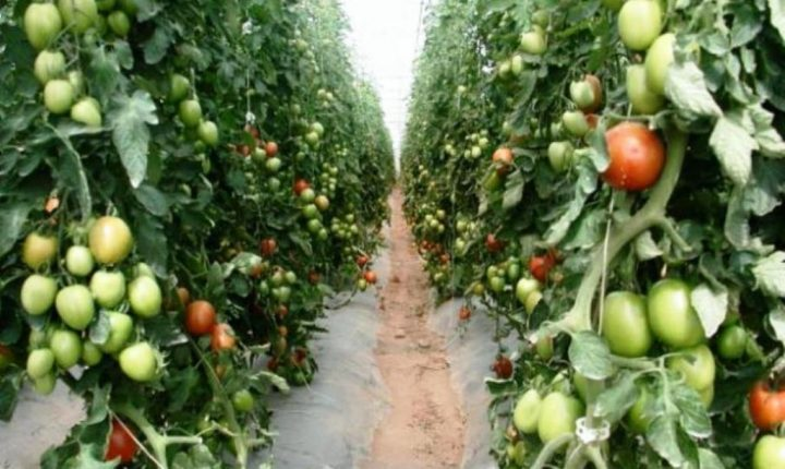 Michoacán, sexto lugar en la producción de jitomate